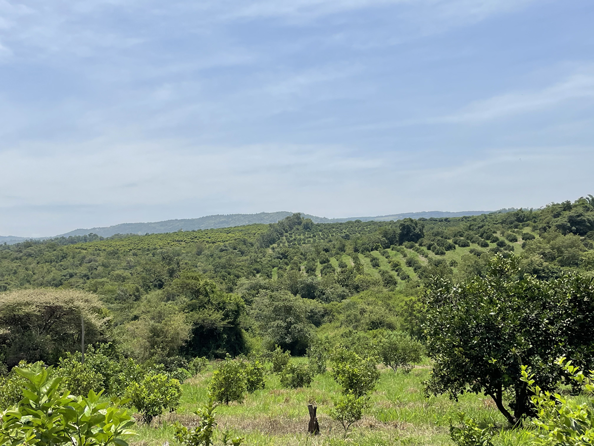 view of fruit farm in kenya