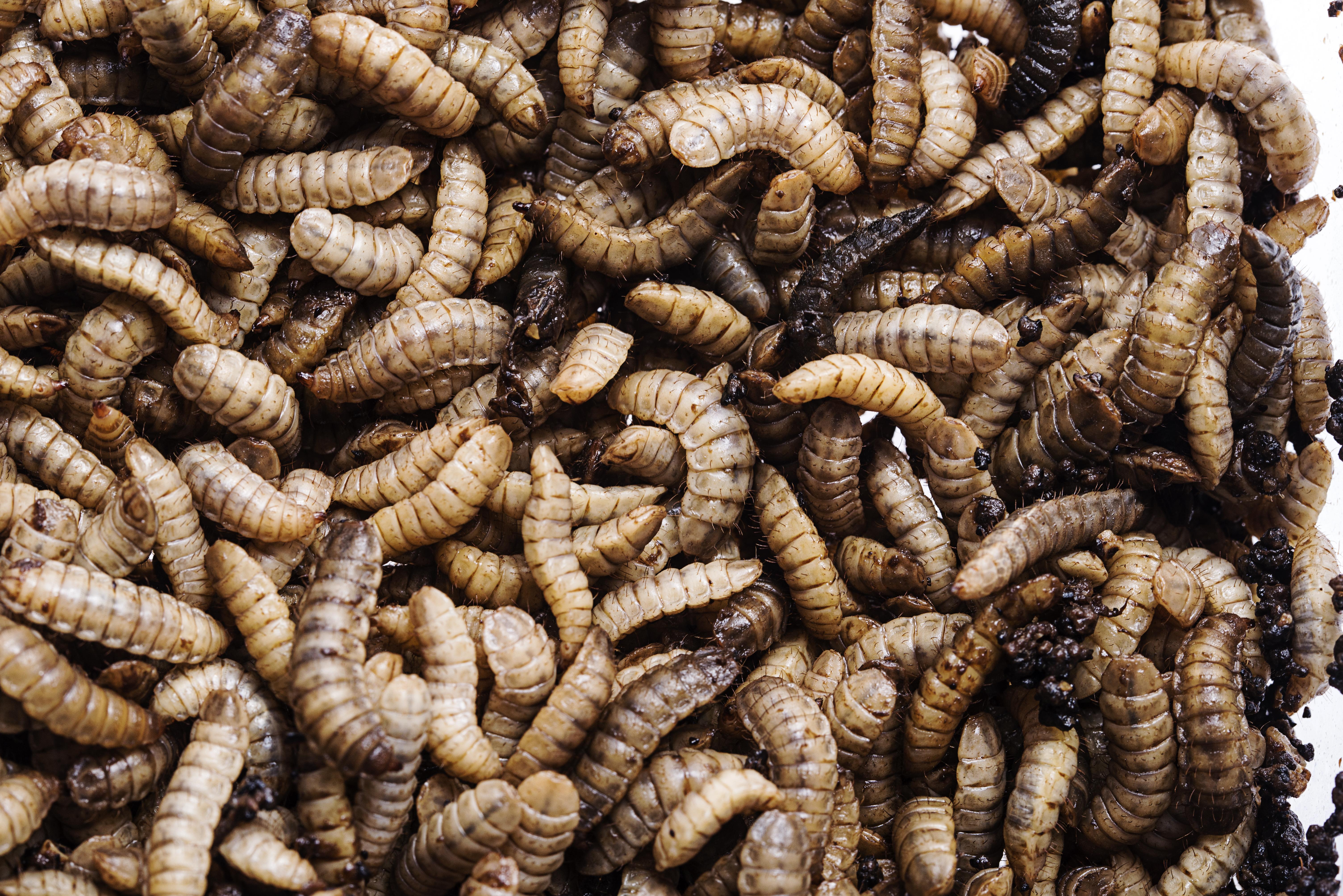 Larvae ecodudu